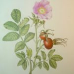 Beautiful botanical drawings created by a summer guest….thank you for sharing these, Julie Houston!